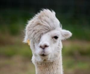 Photo de présentation du lama